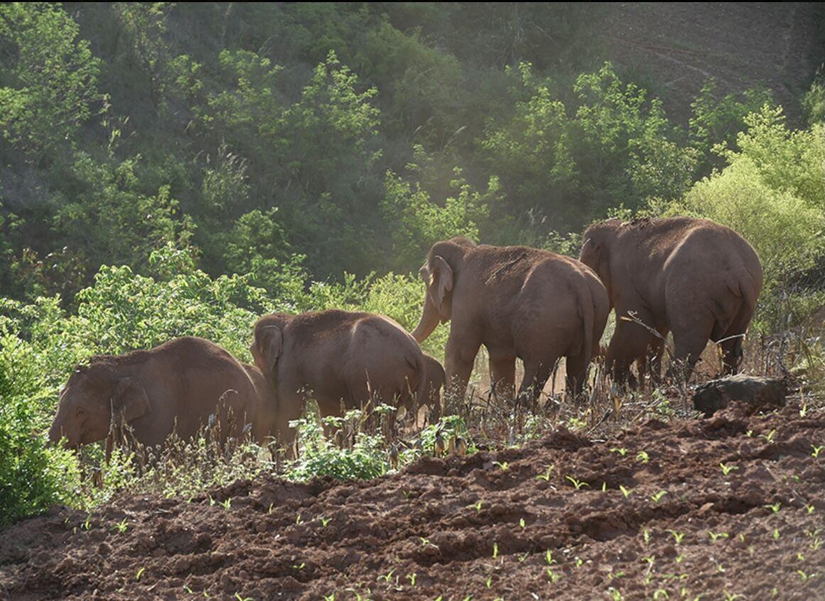 记者直击大象逼近村庄  指挥部组织村民迅速疏散